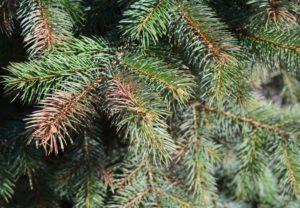 pin tree up close